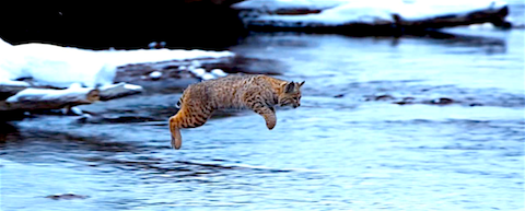 cat jumping across river